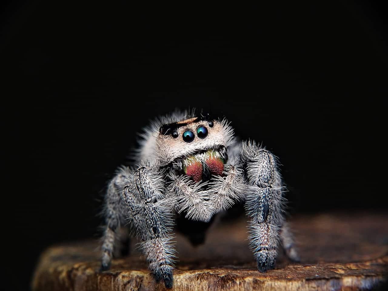 ujed pauka