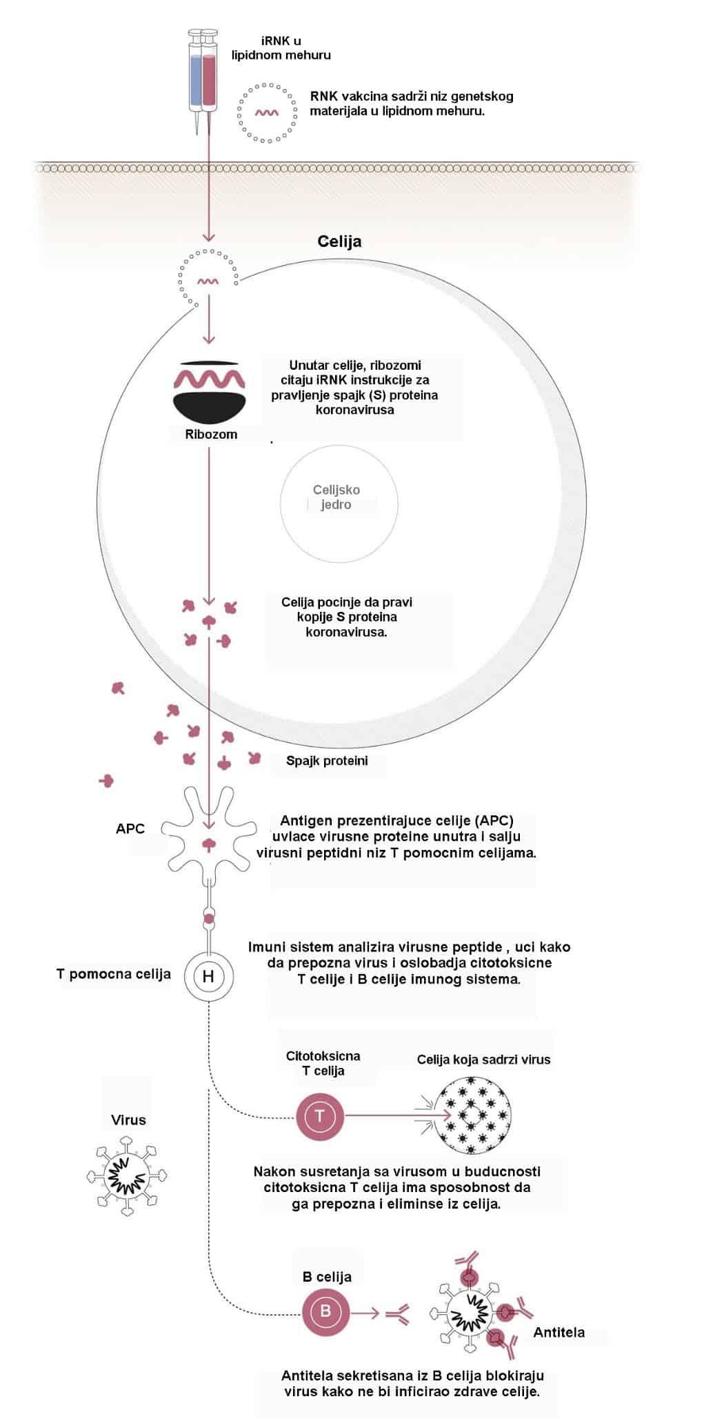 delovanje RNK vakcine