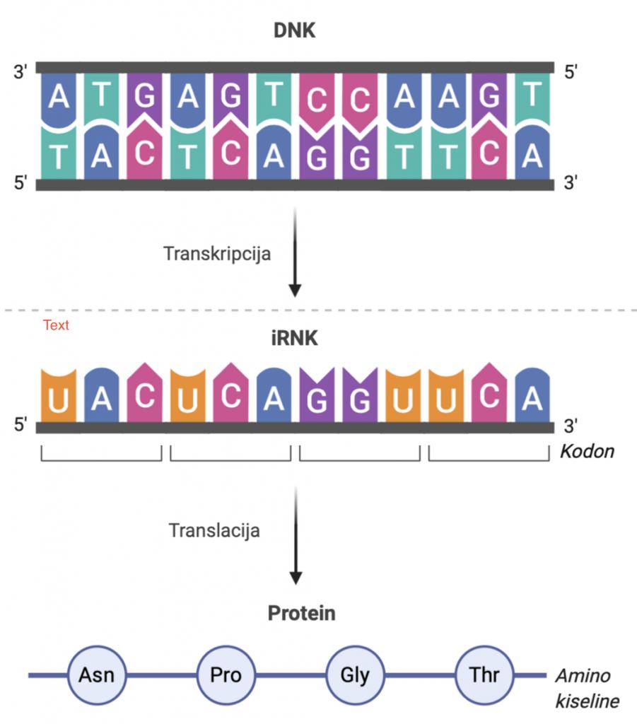 transkripcija DNK u RNK